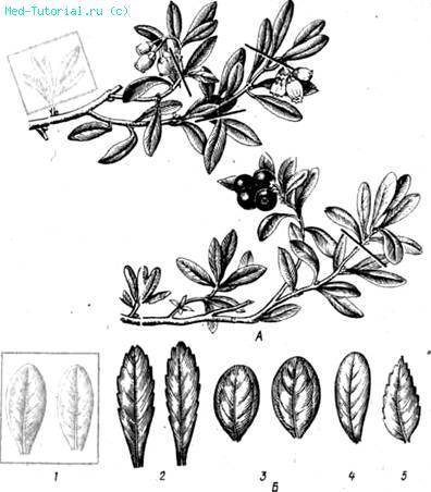 Из листьев готовят отвар и мочегонные сборы, в состав которых кроме...